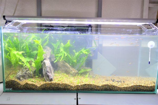 水草にCO2添加なしの緑の絨毯ができる前の水槽