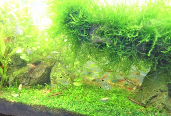 水草にCO2添加なしの緑の絨毯ができた後の水槽