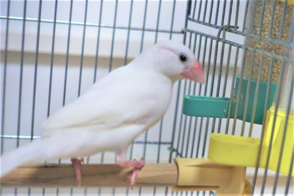 文鳥が自動エサやり器で食べているところ