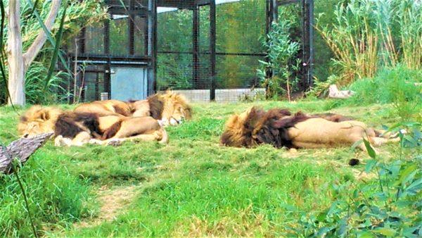 オーストラリアのメルボルン動物園のライオン