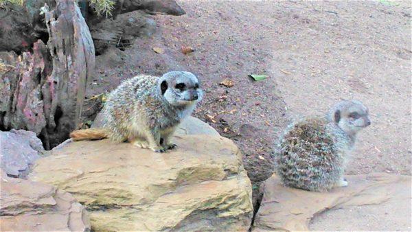 オーストラリアのメルボルン動物園のミーアキャット