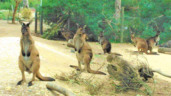 オーストラリアのメルボルン動物園のカンガルー