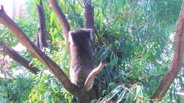 オーストラリアのメルボルン動物園のコアラ